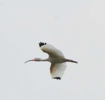 White Ibis (Eudocimus albus)