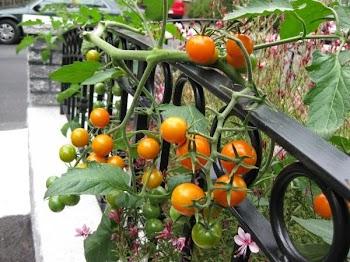 Πώς θα καλλιεργήσετε ντομάτες στην βεράντα σας! (eco life)