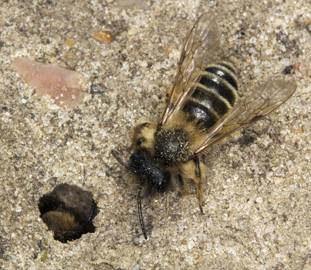 Yellow-legged Mining Bee, Andrena flavipes.  Male by an occupied hole.  Keston Common, 29 March 2012.