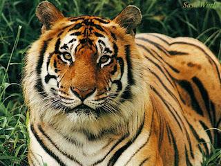 Animal Wallpaper Tiger
