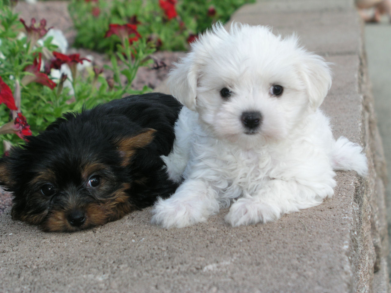 Shih Tzu Puppy Photos