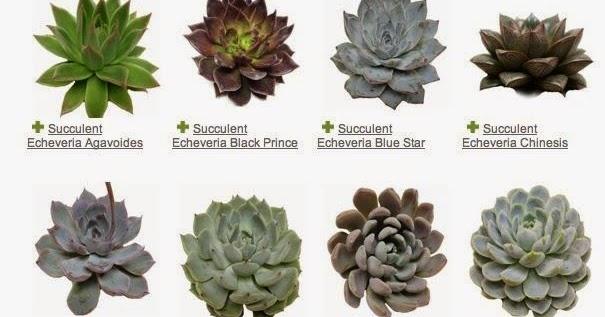 Caroline Billson Know Your Succulents