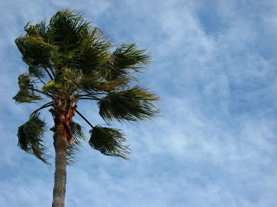 blustery palm