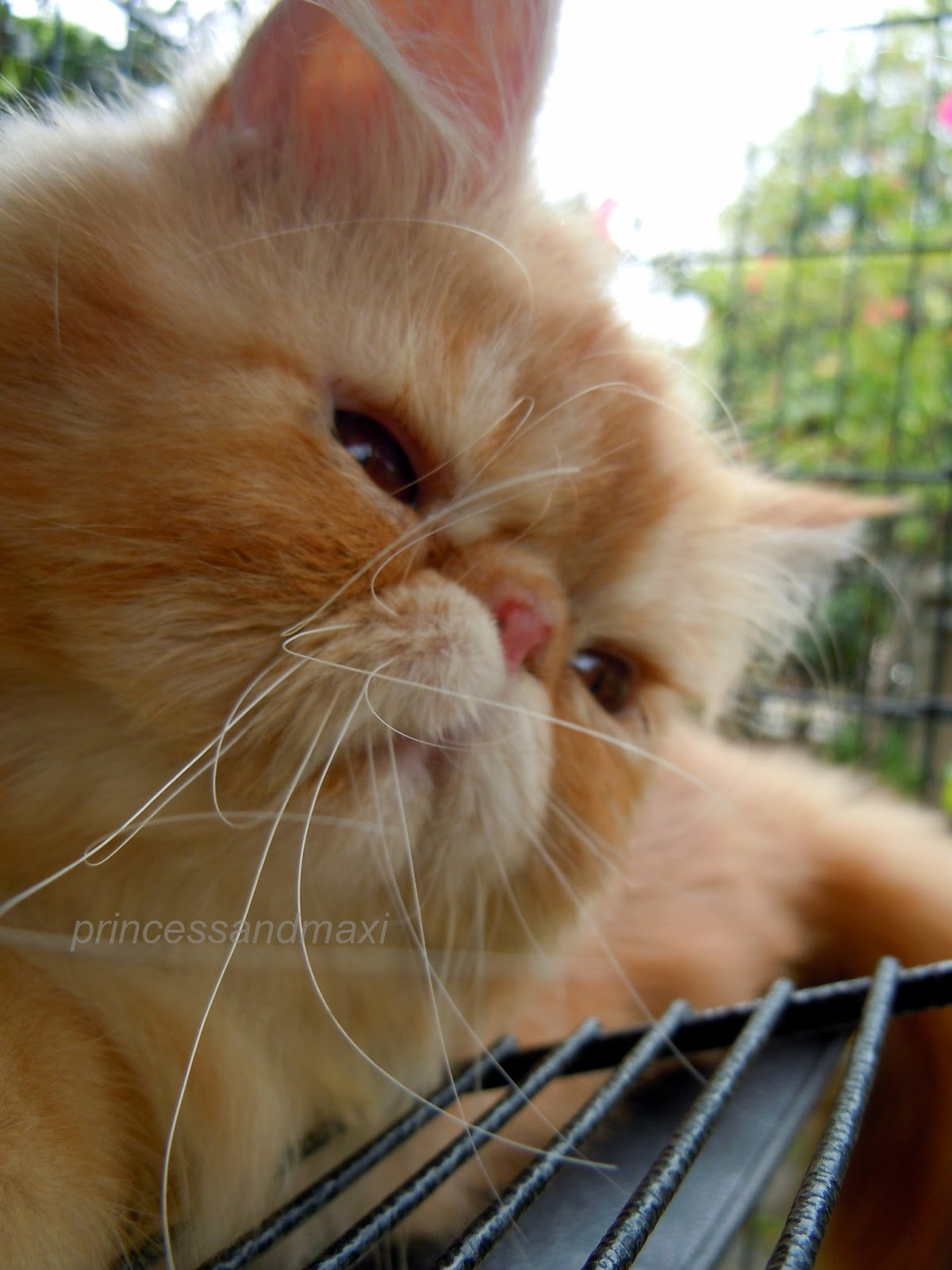 MUSINGS OF A CAT: A TRIBUTE TO MAXI, ANGEL AND SAD TIMES HERE