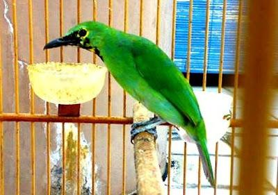 Panduan Lengkap Cara Merawat Burung Cucak Ijo Dengan Benar