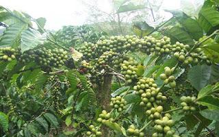 Perbanyakan pohon kopi dengan setekbudidaya tanaman kopi
