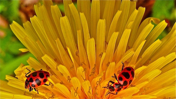 some Asian lady bug beetles digging in a flower bloom