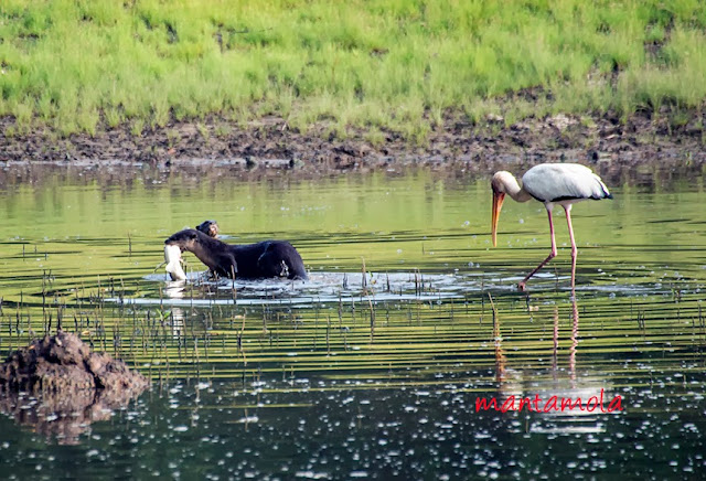 Smooth-coated otter & Milky Stork