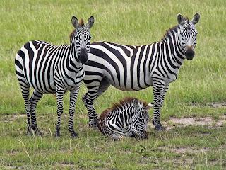 Safari posters