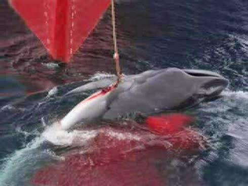 Matanza anual de ballenas por Japón