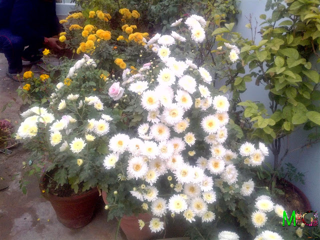 Metro Greens: White Chrysanthemum