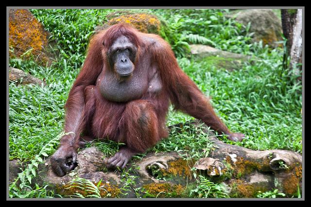 Singapore+Zoo+Orang+Utan