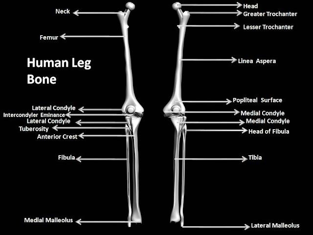 Human Leg Bones Names