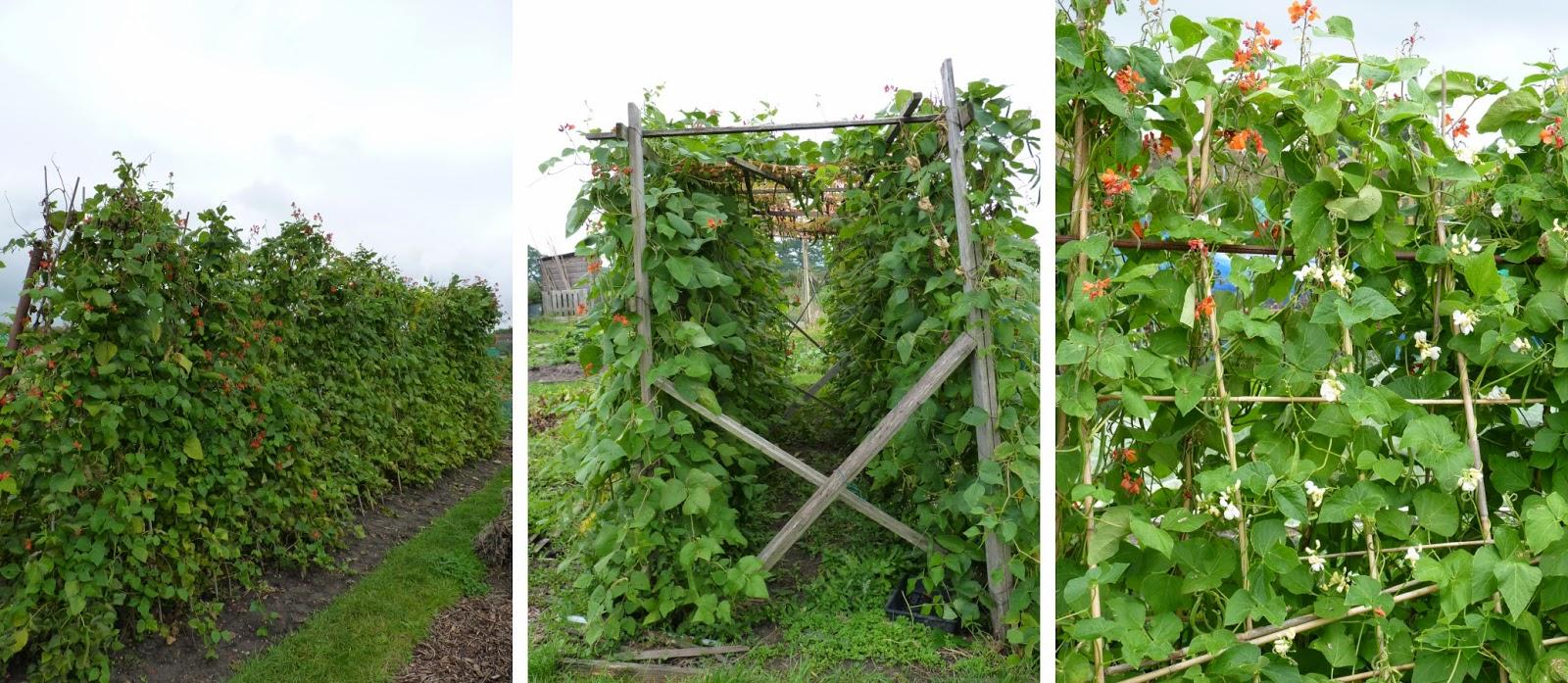 Зелёная фасоль выращивание и уход 85