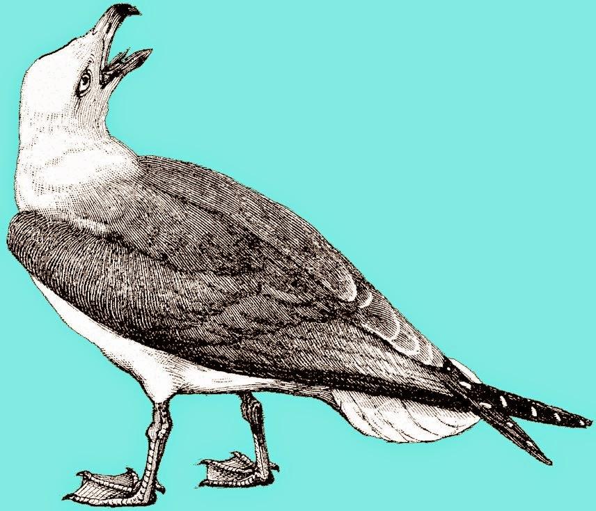 goéland, mouette, palmipède, larus atlanticus, oiseau de mer