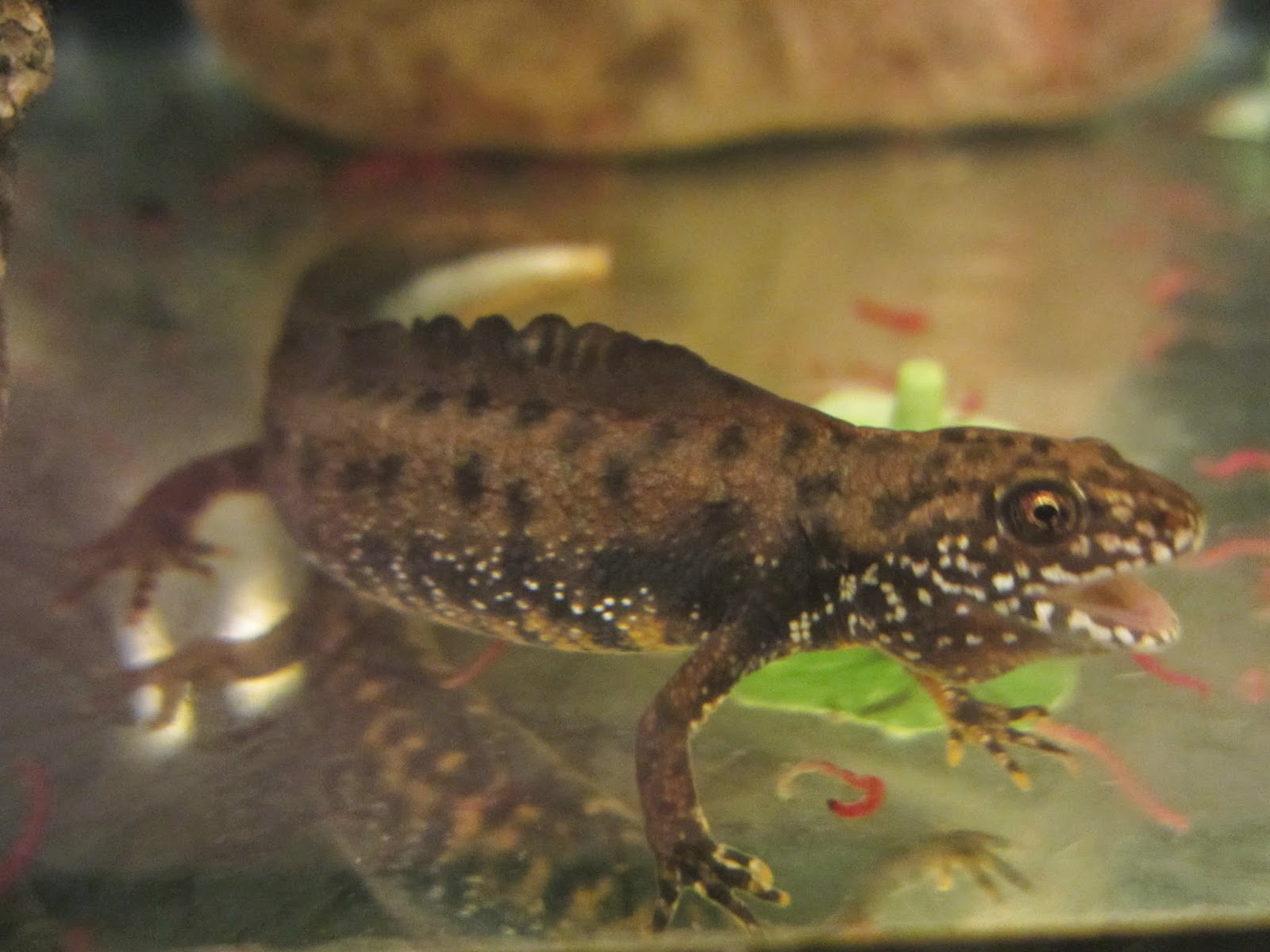 Momcicle Mania Danube Crested Newts T Dobrogicus
