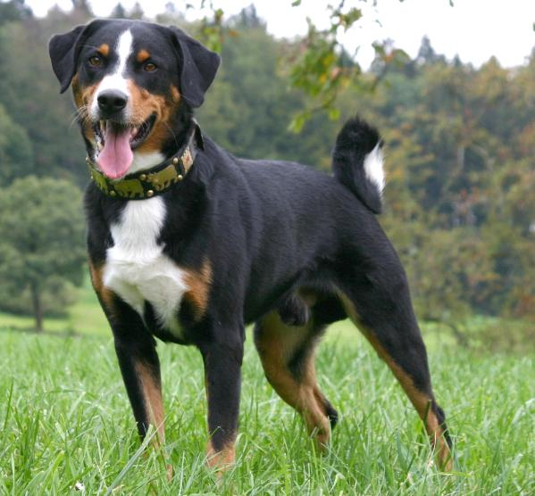 saved by dogs swiss mountain dogs appenzeller entlebucher bernese and greater swiss. Black Bedroom Furniture Sets. Home Design Ideas