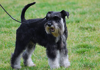 Miniature Schnauzer anger looks in black and white picture with its owner