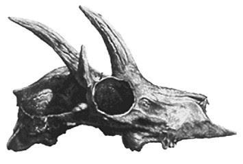 craneo de Hoplitomeryx