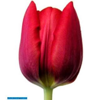 صور زهرة التوليب