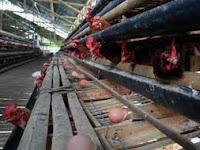 Aplikasi Viterna Pada Ayam Petelur