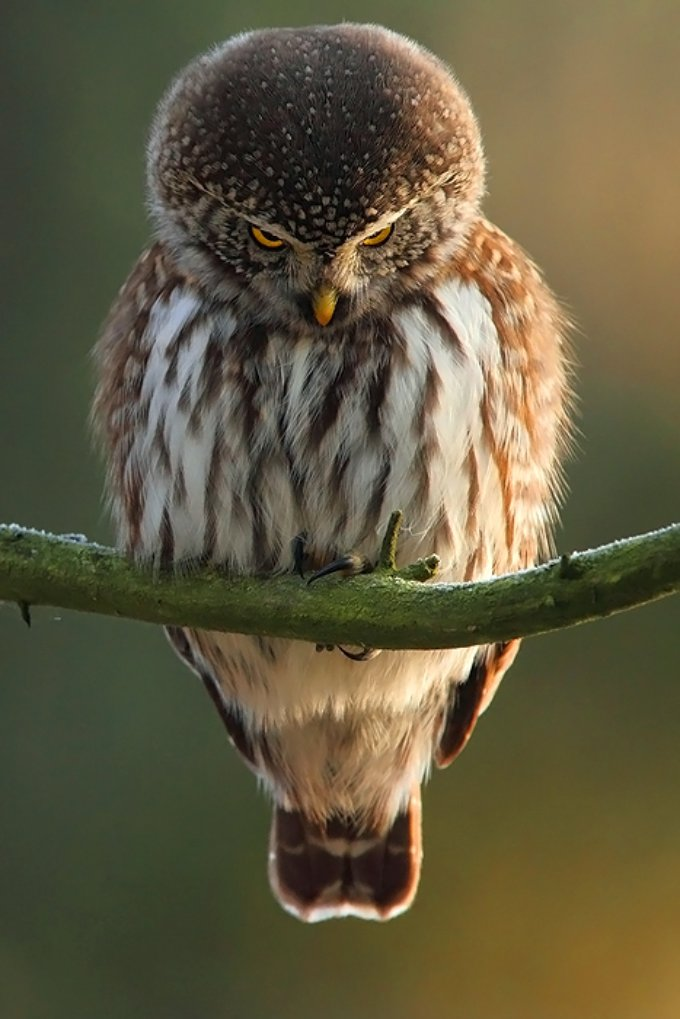 A verdadeira Angry Bird