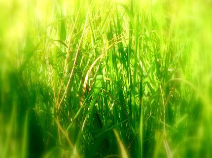 gambar rumput tinggi