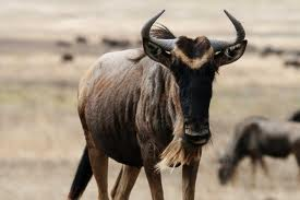 Wildebeest image