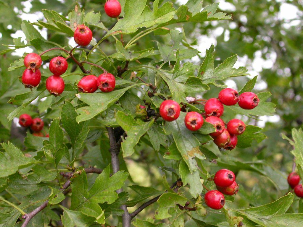 Crataegus monogyna Crataegus+monogyna+%2528berries%2529