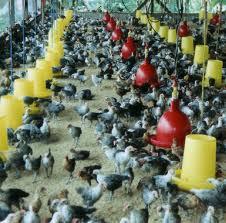 Tips manajemen pemeliharaan ayam arab