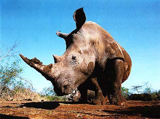 Носорог, Южная Африка
