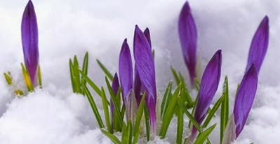 Cliff Olney Posts First Crocus Photo