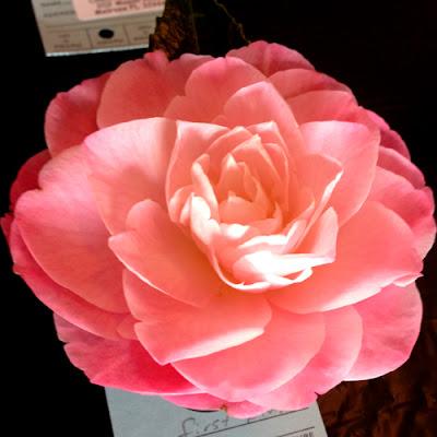 2013 Camellia Show Atlanta Botanical Garden