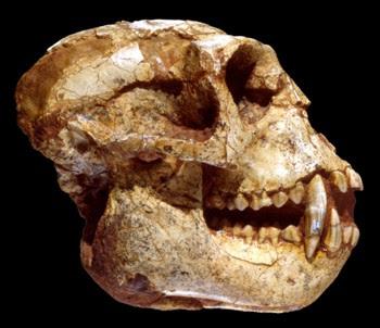 Mesopithecus skull