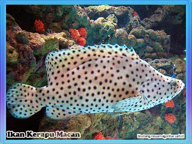 gambar ikan kerapu macan