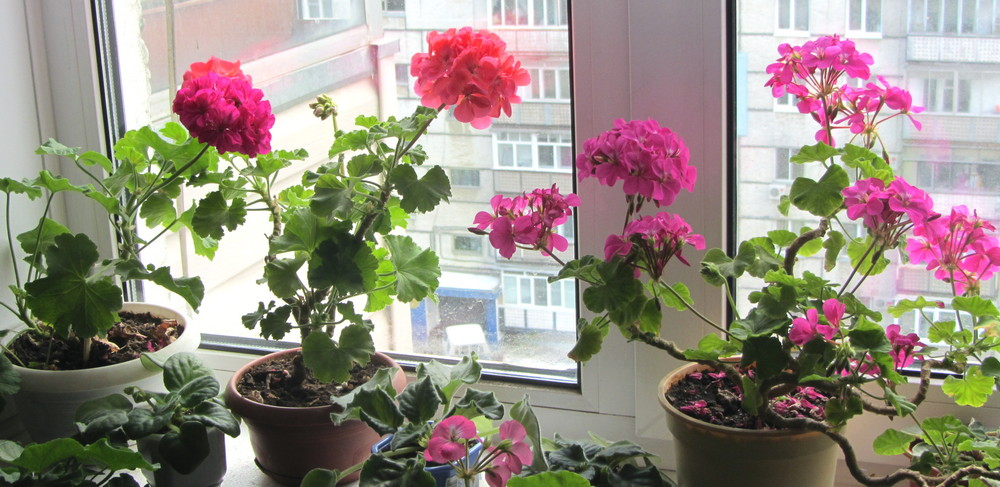 Как ухаживать за не цветущей геранью в домашних условиях