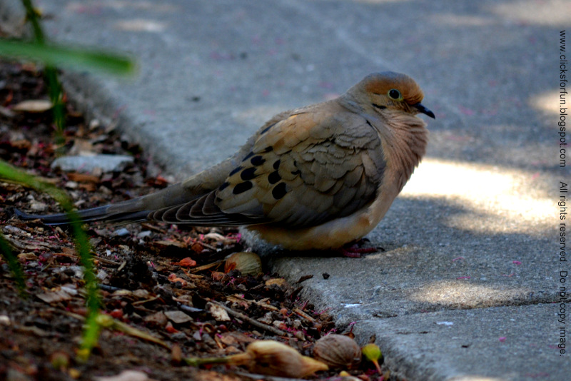 Mourning Dove Birdwatching Photos Blog California