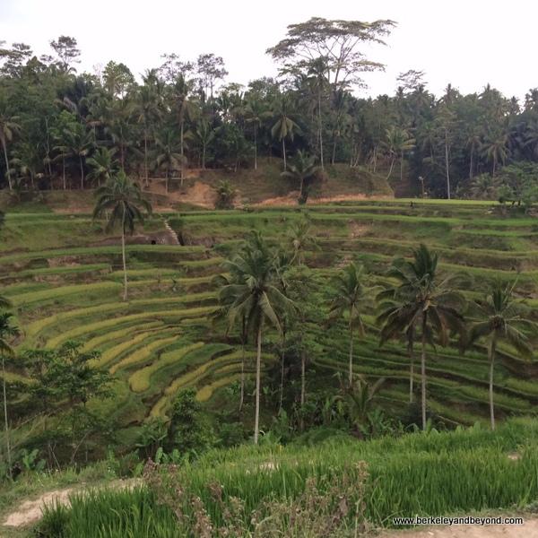 Jatiluwih rice fields in Bali