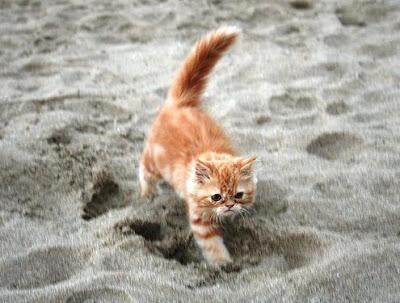 foto kucing persia berbulu orange bernama Lolita milik Jandiano