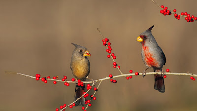 Desert cardinals eating possumhaw holly berries in Starr County, Texas (© Bill Draker/Alamy) 442