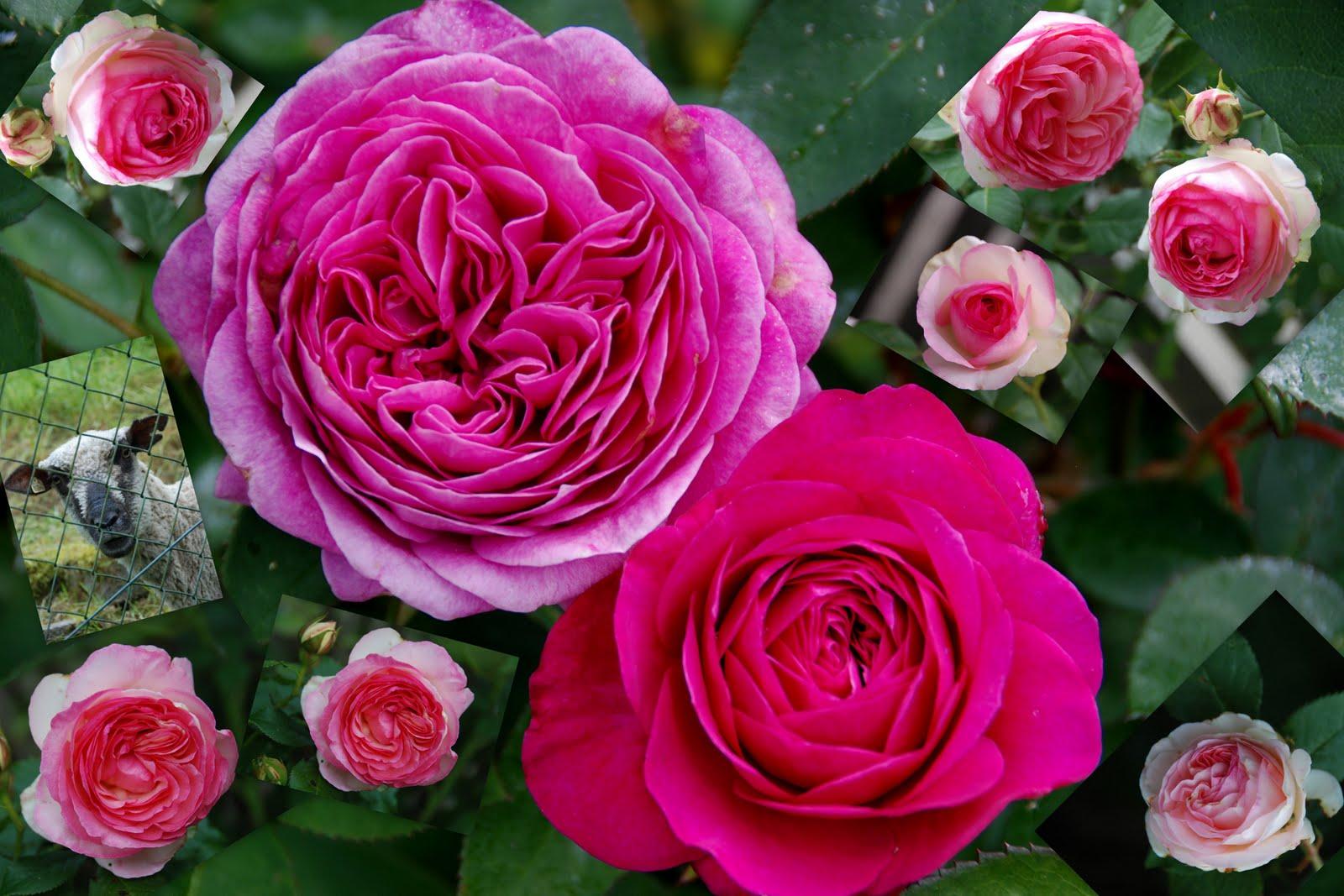 ullahatsichgewaschen rosen im mai meine lieblingsrosen. Black Bedroom Furniture Sets. Home Design Ideas