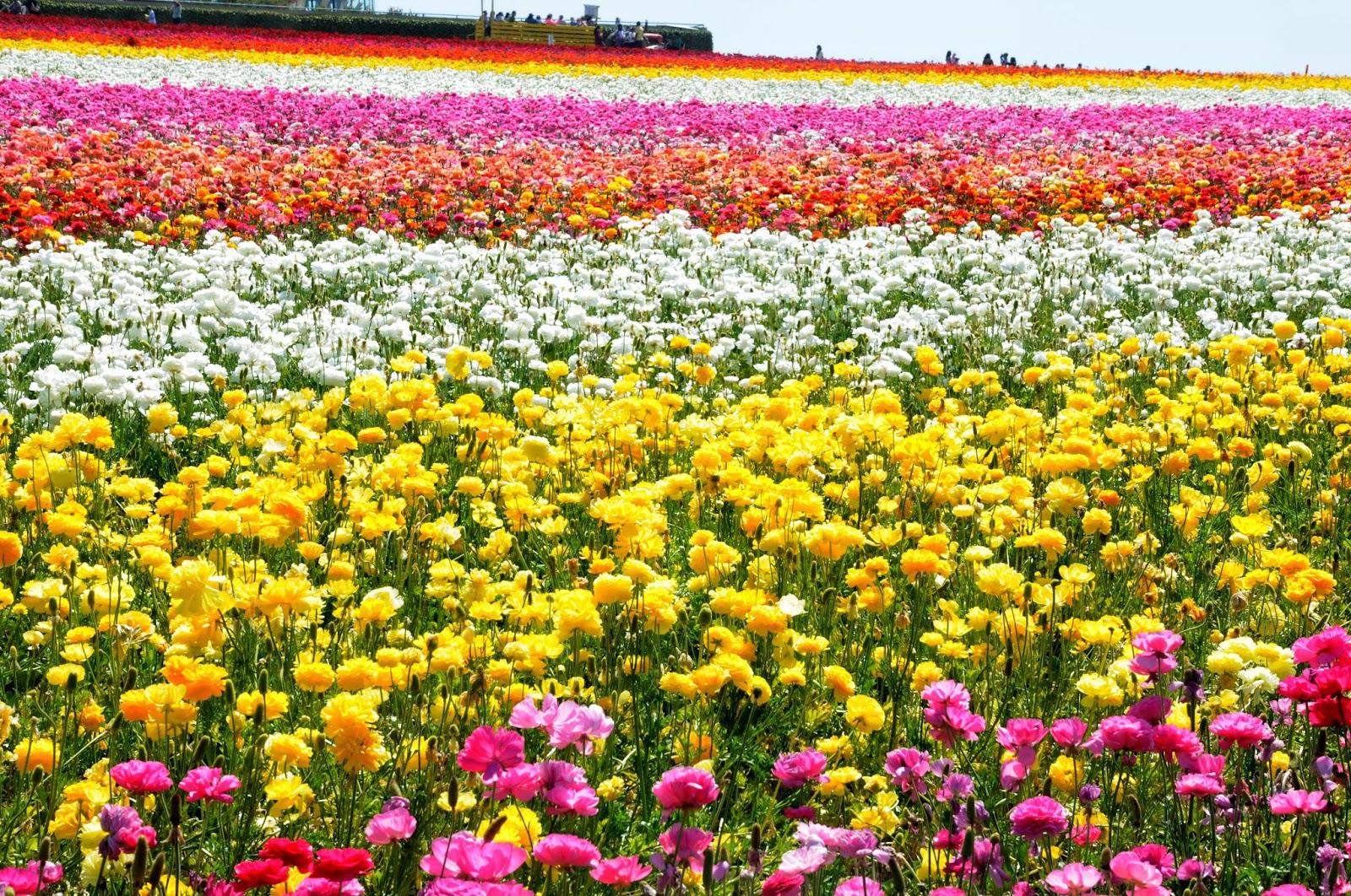 SEAN TINER Carlsbad Flower Fields