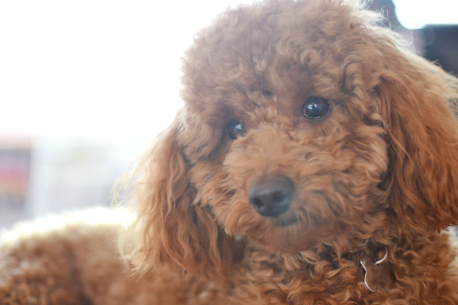 Toy Poodle Haircuts Styles 6331378 Dewingerdfo