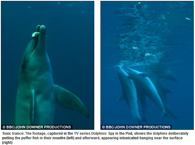 Dolphins Filmed Chewing Toxic Puffer Fish 'To Enjoy Narcotic-like Effects'