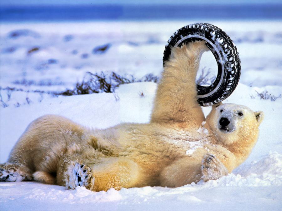 Polar Bear Funny Gif Pictures Polar Bear Funny