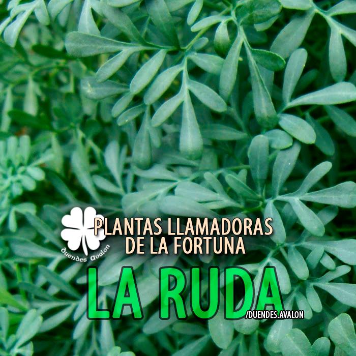 Todomike plantas llamadoras de la fortuna duendes de avalon - Planta de la buena suerte ...