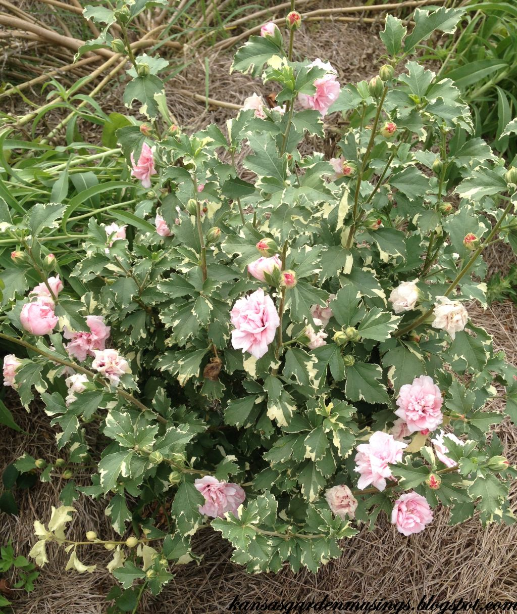 Garden Musings: Sugar Tip Rose (of Sharon)