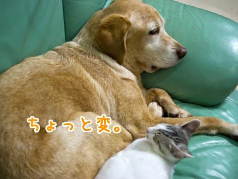 大型犬と子猫のお昼寝