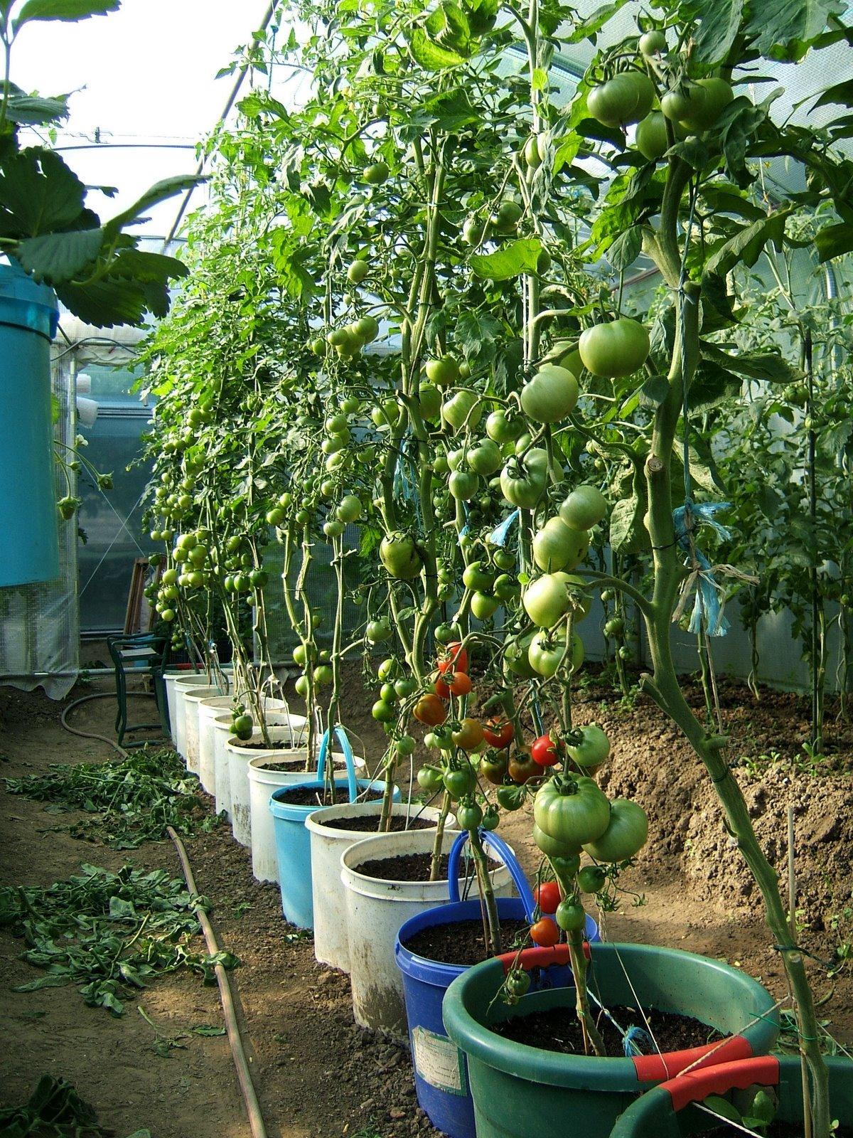 Passion tomates que des tomates greff es en pots - Cultiver aubergine en pot ...