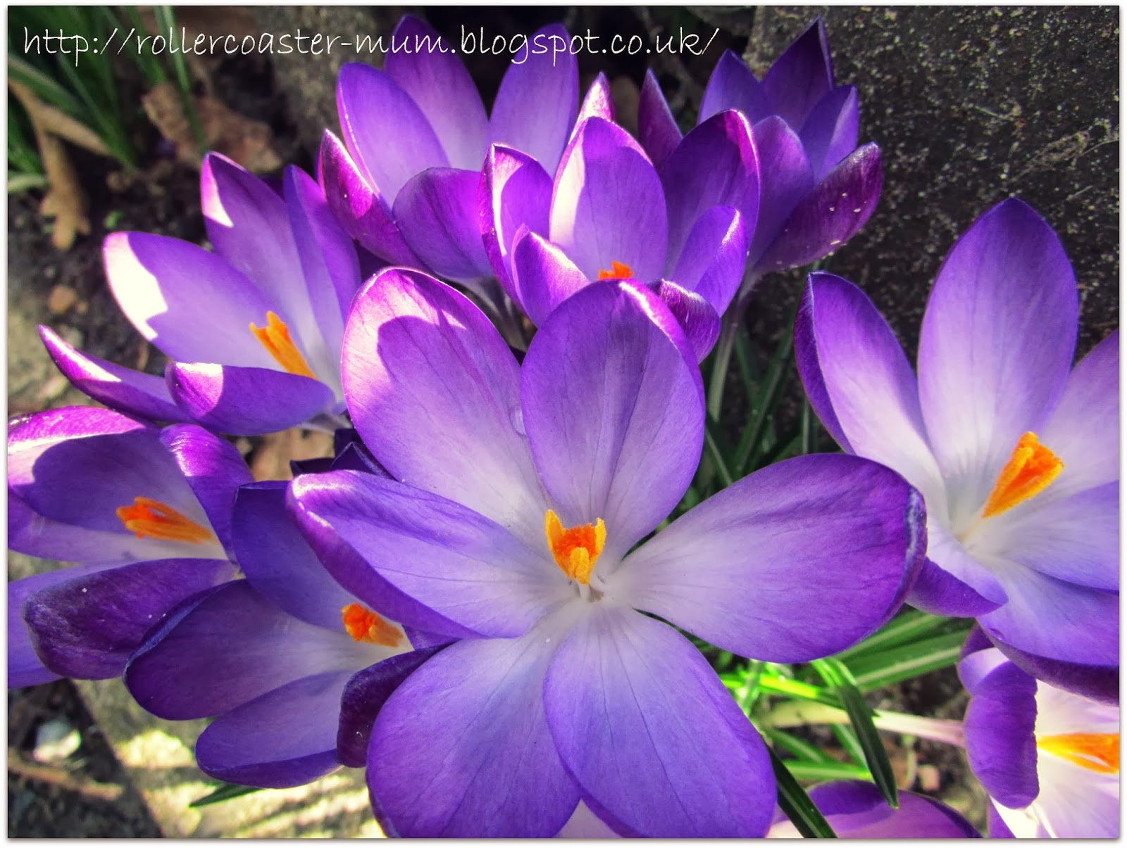 a host of purple crocus flowers